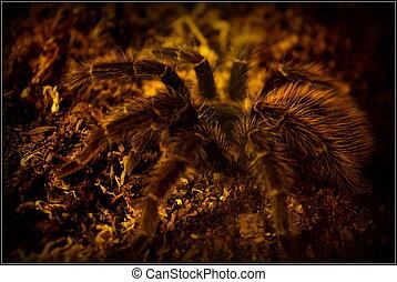 Honduran Curly Hair Tarantula - Brachypelma albopilosum - A...