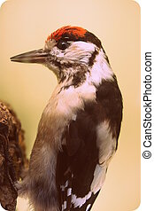 Greater Spotted Woodpecker - Dendrocopos major