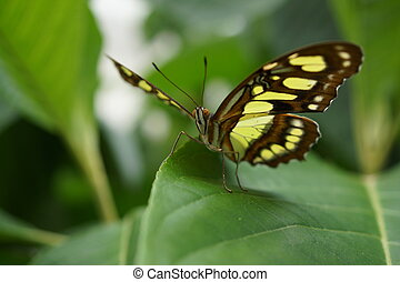The Malachite - Siproeta stelenes - Vivid tropical butterfly...