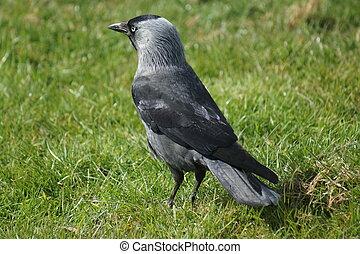 Eurasian Jackdaw - Corvus monedula