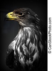 White-tailed Eagle - Haliaeetus albicilla - Portrait of a...