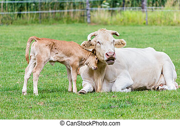 Bull calf loves mother cow in meadow - Bull calf loves...