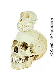 crânios, de, human, e, macaco, ligado, topo, de, cada,...