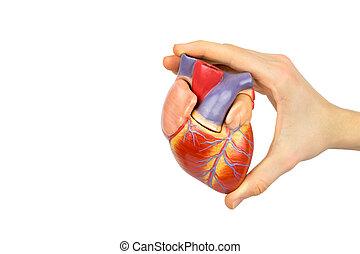 mano, tenencia, artificial, humano, corazón, modelo, en,...