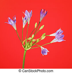 Brodiaea Flower - fresh brodiaea flower, cluster-lily, on...