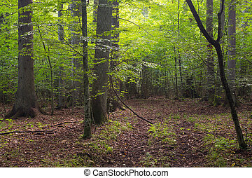 Deciduous stand of Bialowieza Forest and path - Summertime...
