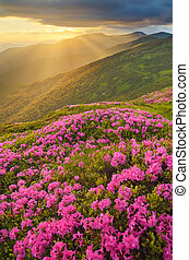 Glade with pink flowers in the mountains at sunset -...