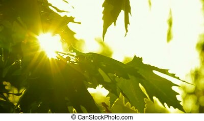 Glowing tree leaves - The sun's rays pass through the leaves...