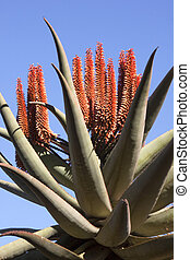 Tall Succulent Aloe Plant with Bright Orange Flowers