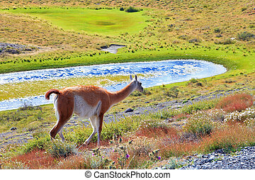 The charming vicuna on the shore - Overgrown grass lake and...