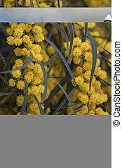 beautiful yellow acacia mimosa tree - Close up view of the...