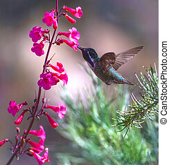 Costas Hummingbird - Male Costa's Hummingbird (Calypte...