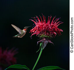 Ruby-throated Hummingbird on Bee Balm