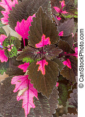 Coleus plants with colorful leaves in the garden