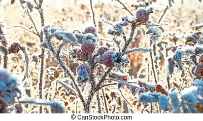 Briar Berries With Hoarfrost in Frosty Day