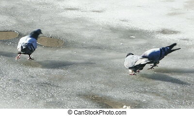Pigeons Walking on Ice at Spring Day