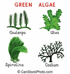 Green algae - Collection watercolor green algae isolated on...