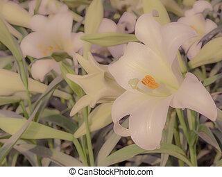 Lilium longiflorum (Easter lily) - Close up of Lilium...