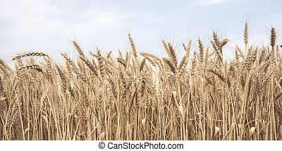 Wheat field in close-up with blue sky