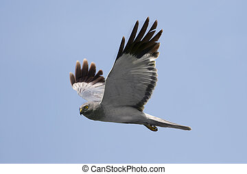 Northern Harrier Circus cyaneus male in flight