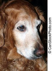Senior Golden Retriever - Closeup portrait of a senior...