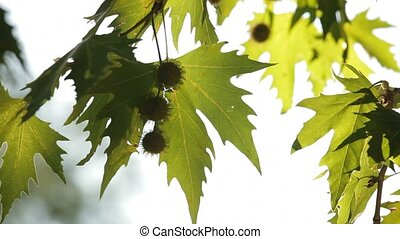 Seeds of sycamore. - Green leaves and seeds of the sycamore.