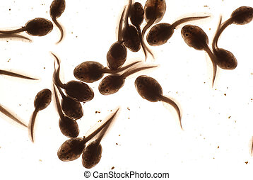 tadpole - macro tadpole in water on white background