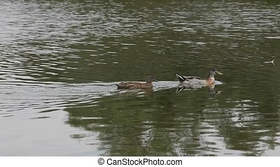Ducks In A Lake