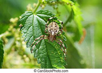 spider - big frightening spider on the green leaf