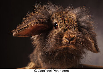 close up picture of a cute lion head bunny rabbit looking at...