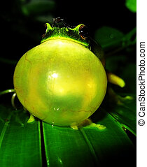 Green Frog calling - A male orange thighed green tree frog...