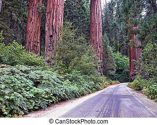 Sequoia National Park, USA - Detail of Sequoia National...