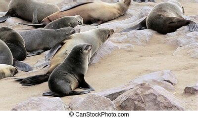 small baby of Brown fur seal in huge colony of Brown fur...