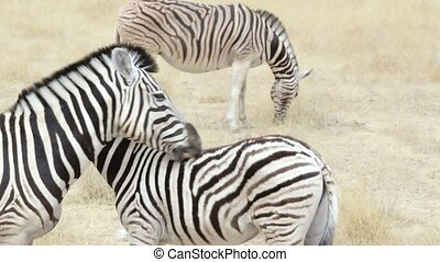 zebra with foal nibbling fur - Burchells zebra with foal...