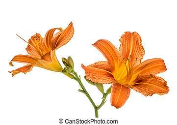 Orange lily flowers, Lilium, drop and two snails, isolated...