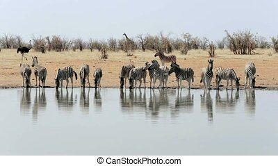 Zebra drinking on waterhole. Etosha national Park, Ombika,...