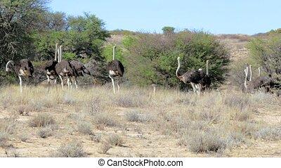 Ostrich Struthio camelus - Ostrich, Struthio camelus in...