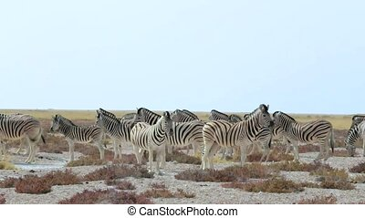 Zebra in african bush Etosha national Park, Ombika, Kunene,...