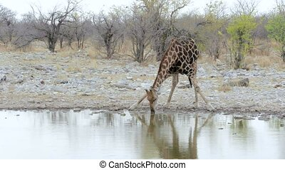 Giraffa camelopardalis drinking from waterhole in Etosha...