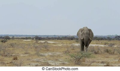 big african elephants - Portrait of african elephants,...