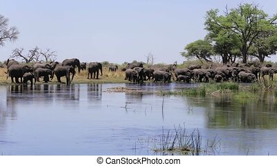 herd of African elephants drinking from river in small...
