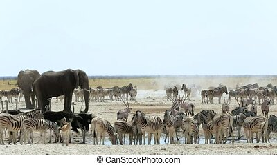 Waterhole in Etosha with many animals, Zebras, elephants,...