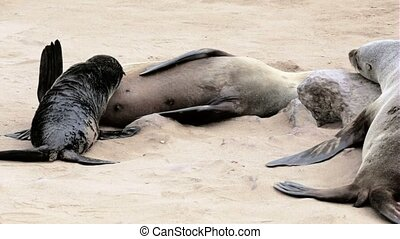 small baby of Brown fur seal drinking milk from mother in...