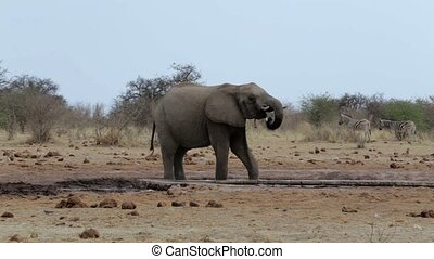 African elephants drinking at a muddy waterhole, Etosha...