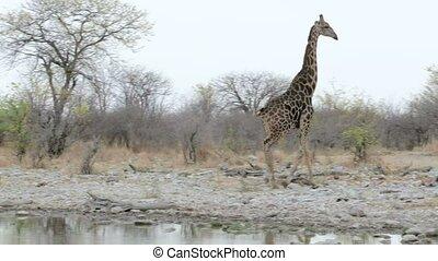 Giraffa camelopardalis drinking - Giraffa camelopardalis on...