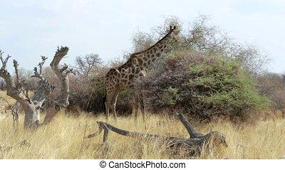 Giraffa camelopardalis grazing - Giraffa camelopardalis...