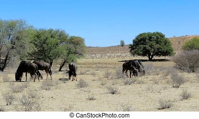 wild Wildebeest Gnu grazing, Kgalagadi, South Africa, true...