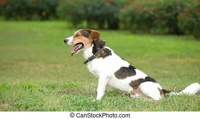 Jack russell terrier - Dog sitting in a clearing.