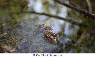 Frog in the pond. - Frog in the pond in the morning. HD....