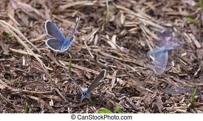 blue butterfly - The blue butterfly sitting on the ground